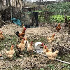 擦!这么认真去拍照居然只碰到一群鸡😭