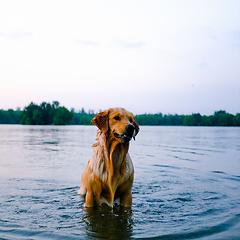 这条狗这么喜欢水,它上辈子可能是条鱼。