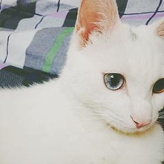 有鸳鸯眼的温柔男猫。