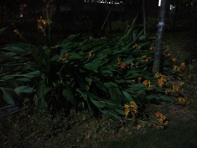 暴雨后倒下的花🌸