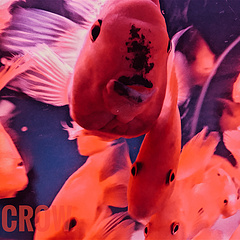 「」冷水熱帶魚