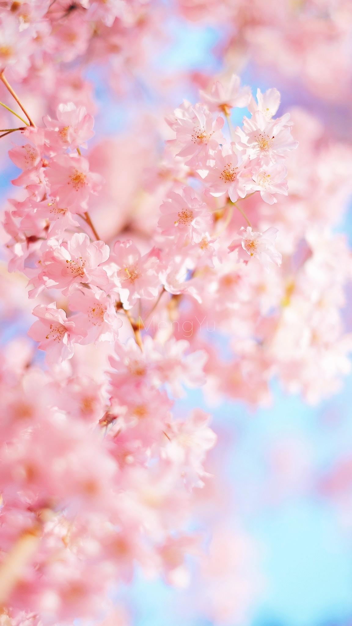 那年樱花季