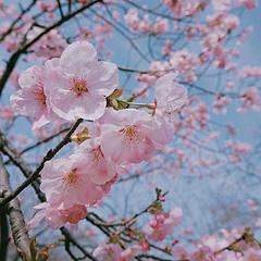 武汉春季限定·樱园赏樱